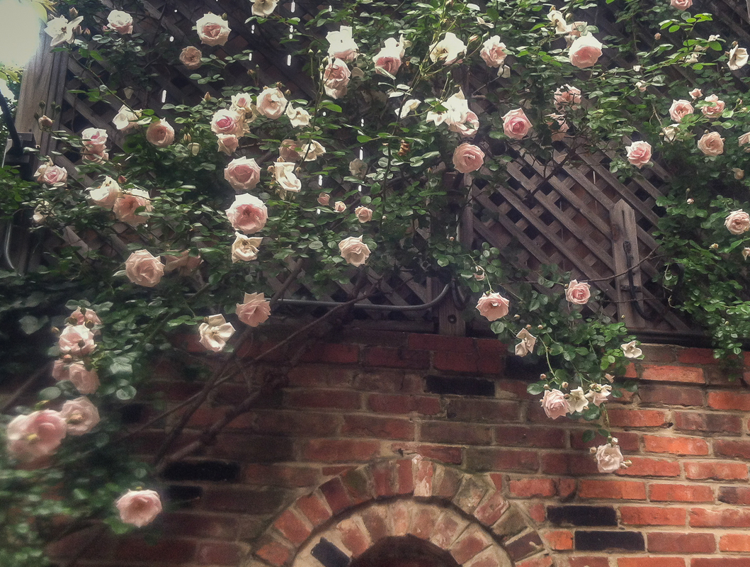A climbing rose graces a walled garden in Georgetown. : Georgetown and Capitol Hill Gardens : CITYSCAPES® Landscaping Inc.