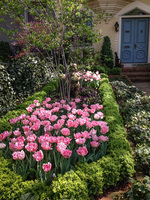 A mass of hot pink tulips brighten a bed edged with boxwoods.