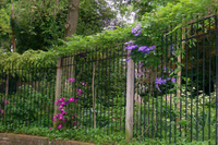 Careful pruning allows the Wisteria and Clematis to compliment each other.