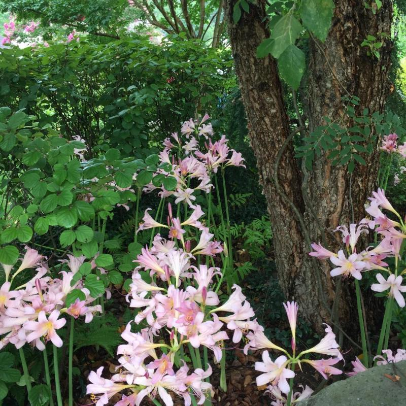 Naked Ladies (lycoris squamigera)  Spring foliage dies back and summer flower stems emerge without leaves. : Featured Plant : CITYSCAPES® Landscaping Inc.