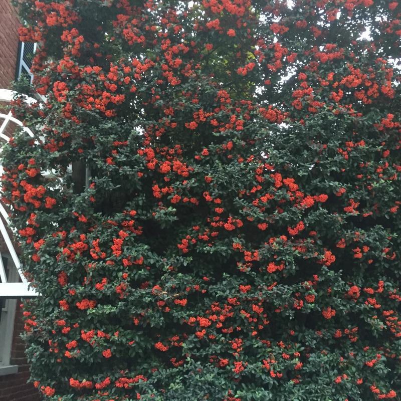 Espalier pruning of Pyracantha on a brick wall. : Maintenance : CITYSCAPES® Landscaping Inc.